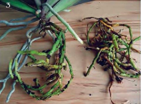 состарившиеся корни при основании стебля срезать ножницами