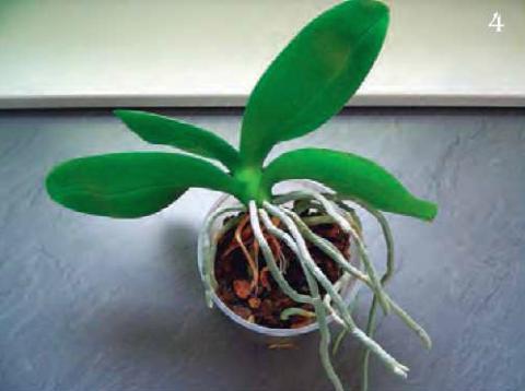 прозрачный горшочек является оптимальным для орхидеи фаленопсис
