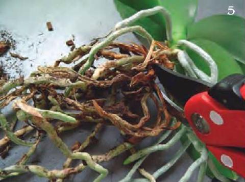 отрезать нижнюю отмершую часть растения, подсушить, высадить орхидею, используя тот же горшочек.