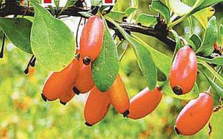 Выращивание барбариса в саду, виды и сорта, польза