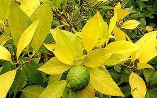 Желтеют листья лимона