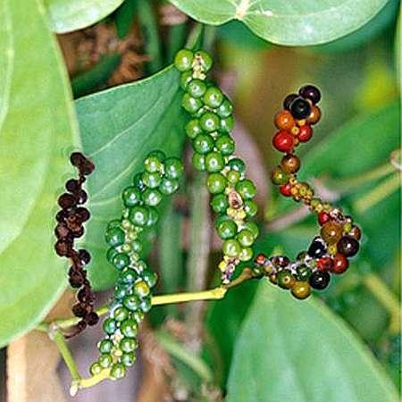 Черный перец выращивание в домашних условиях
