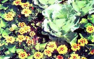Бархатцы против вредителей капусты