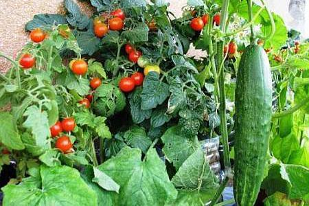 Уход за огурцами и томатами в июле