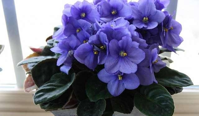 Фиалка, сенполия - неприхотливый цветок