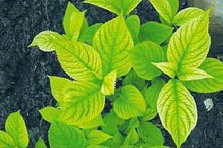 Пожелтели листья гортензий и лилий