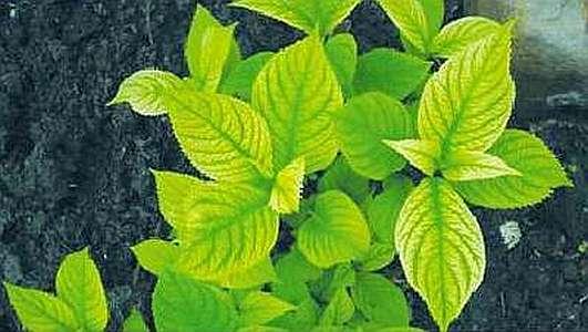 пожелтели листья гортензий