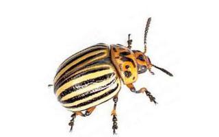 Колорадский жук, борьба с колорадским жуком