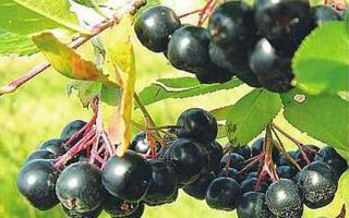 Рябина, выращивание и уход, виды и сорта