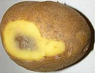 картофель чернеет внутри