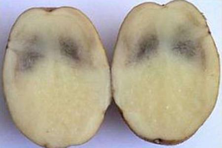 Картофель чернеет внутри - почему темнеет картошка при хранении