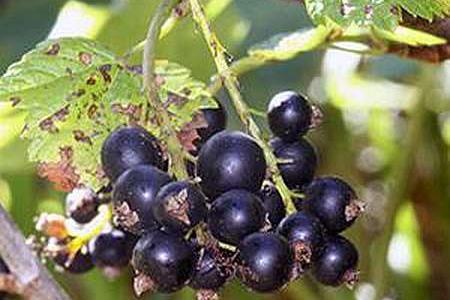 Смородина выращивание, посадка и уход