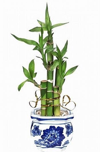 Уход за бамбуком в домашних условиях