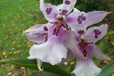 Орхидея камбрия беаллара