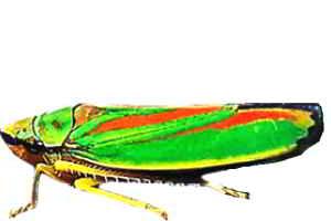 Рододендроновая цикада