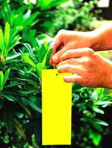 Желтая липкая бумажка, прикрепленная к ветке растения