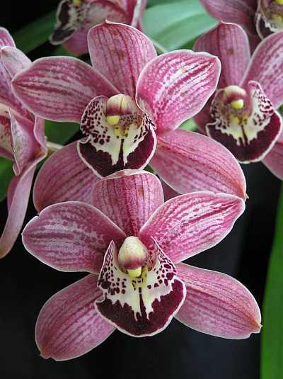 Простая в уходе орхидея цимбидиум