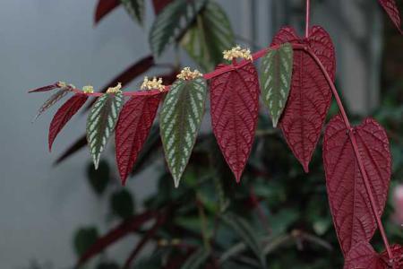 Разноцветный циссус цветы