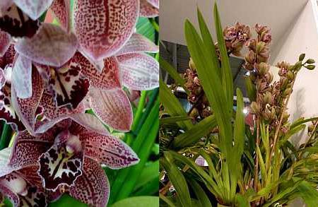 Цимбидиум крупнее других орхидей