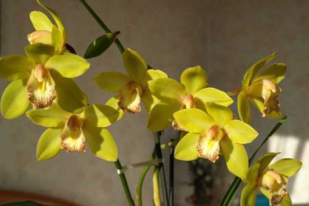 Цветок цимбидиум