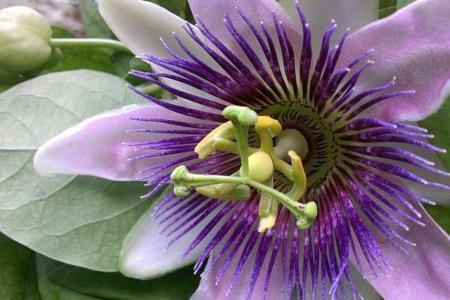 Цветок пассифлоры на фото
