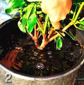 Перед посадкой погрузите корневой ком в воду