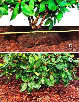 Замульчируйте почву вокруг рододендрона