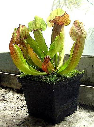 Выращивание саррацении в домашних условиях