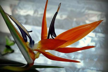 стрелиция райская птица фото