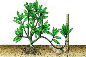 Размножение рододендрона отводками