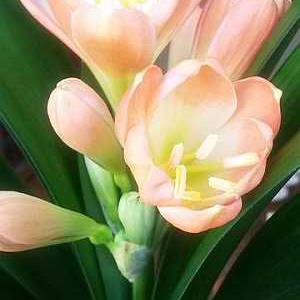 Цветок кливии
