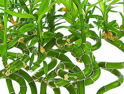 Драцена Сандера ( Dracaena Sanderiana )