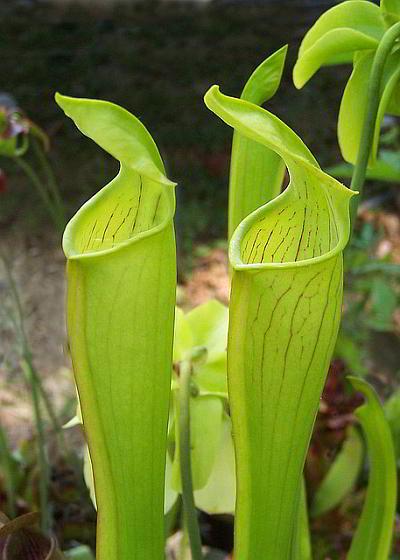 Саррацения прямостоячая (Sarracenia alata)