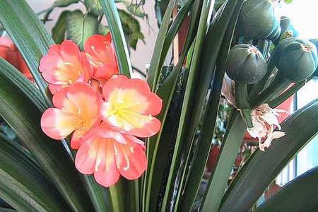 Плоды содержат семена кливии