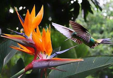 Стрелиция - райская птица