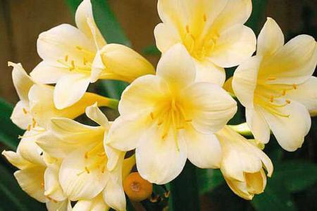 Кливия цитрина лимонно-желтая