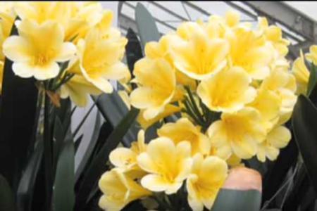 Кливия цитрина цветет
