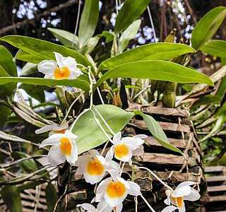 Дендробиум фармери Dendrobium-farmerii