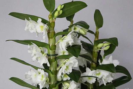 Удобрение дендробиума - залог обильного цветения