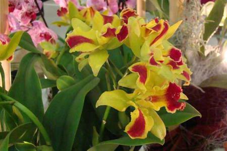 Как ухаживать за орхидеей каттлея
