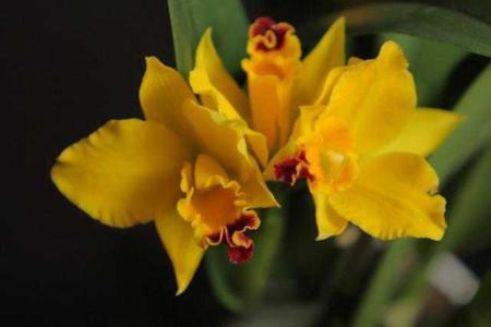Желтая каттлея