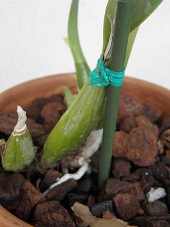 Целесообразно связать пересаженную орхидею с опорой
