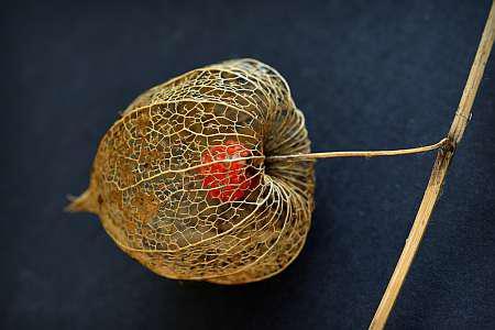 Выращивание и уход за физалисом съедобным, сорта и фото