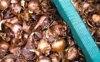 Луковичные цветы: посадка осенью, сроки и правила ухода