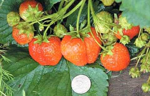 Сорт Витязь с крупными ягодами