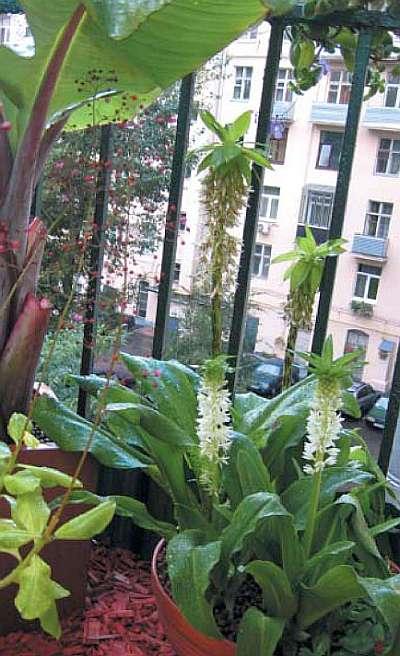 Цветущие эукомисы на балконе