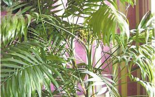 Взрослая пальма хамедорея