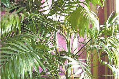 Пальма хамедорея: уход в домашних условиях, фото