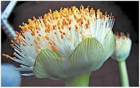 Гемантус белоцветковый (Haemanthus albiflos): цветки мелкие, околоцветник у каждого из них редуцирован, поэтому видны лишь тычиночные нити и пыльники, соцветие - плотный зонтик на сочном, коротком, безлистном цветоносе (5-7 см)