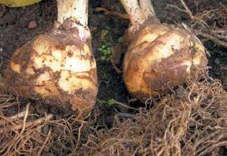 Луковицы эукомиса